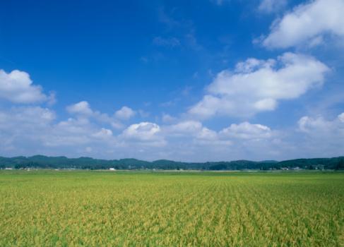 Harvesting「Rice Field, Zao, Miyagi, Japan」:スマホ壁紙(8)