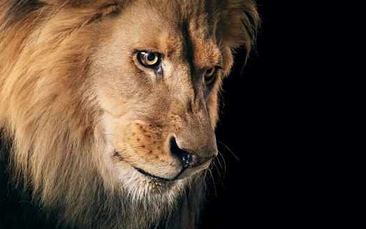 Animal Eye「Lion portrait」:スマホ壁紙(9)