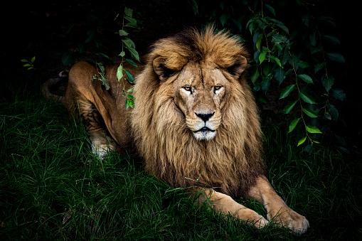 Animal Head「Lion portrait」:スマホ壁紙(10)
