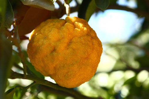 長瀞「Yuzu Citrus Fruit」:スマホ壁紙(8)