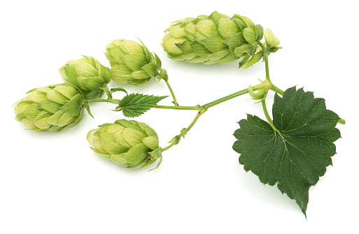 Creeper Plant「Green hops leaves isolated on white background」:スマホ壁紙(4)