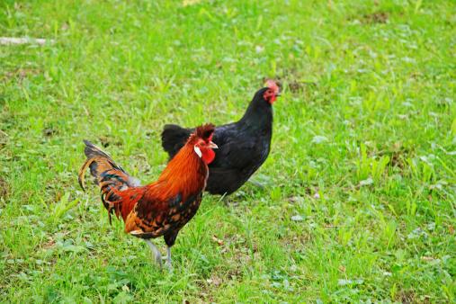 Hen「Cock and hen in grass」:スマホ壁紙(10)
