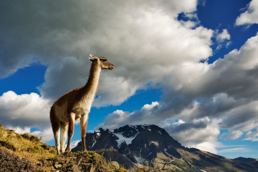 Guanaco「Guanaco, Lama guanicoe, standing on hillside overlooking the Lago Nordenskjoeld (Lagoon). Fine-boned lamoid animal with coarse guard hair and soft undercoat. Torres del Paine National Park. Chile. Dist. South America」:スマホ壁紙(6)