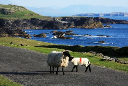 アキル島「Sheep, Achill Island, County Mayo, Ireland」:スマホ壁紙(9)