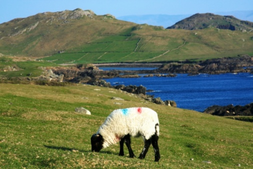 アキル島「Sheep, Achill Island, County Mayo, Ireland」:スマホ壁紙(0)