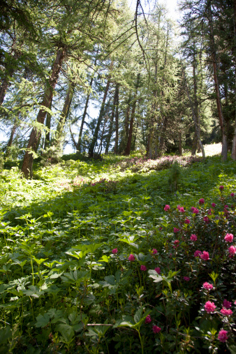 Val d'Isere「Forest on the slopes of Val d'Isere, France in summer. Flowers underfoot and tall pine trees.」:スマホ壁紙(11)