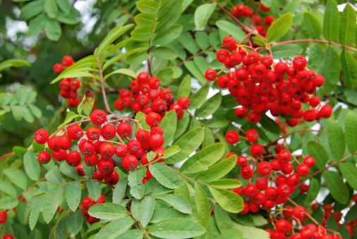 Rowanberry「Rowan」:スマホ壁紙(11)