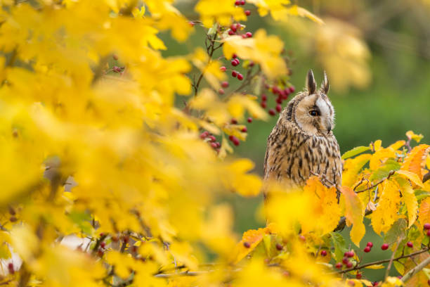 Long-eared Owl (Asio otus). This owl is a member of the family, Strigidae.:スマホ壁紙(壁紙.com)