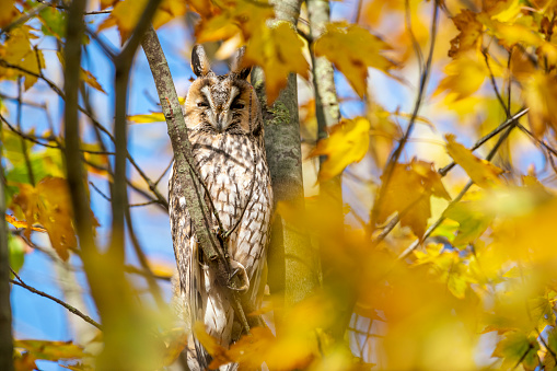 Beak「Long-eared owl (Asio otus) sitting high up in a tree with yellow colored leafs during a fall day.」:スマホ壁紙(18)