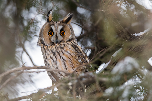 Beak「Long-eared owl」:スマホ壁紙(10)