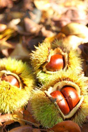 栗「Chestnuts」:スマホ壁紙(17)