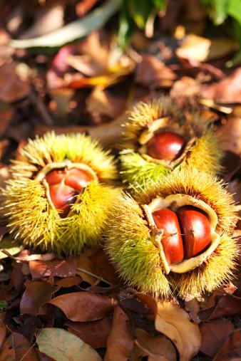 栗「Chestnuts」:スマホ壁紙(12)