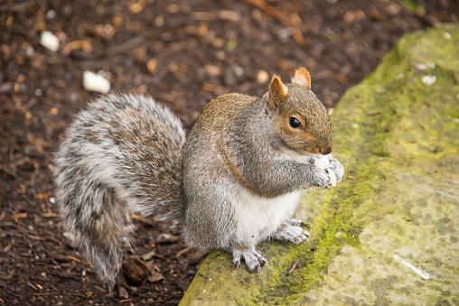 Gray Squirrel「Squirrel」:スマホ壁紙(6)