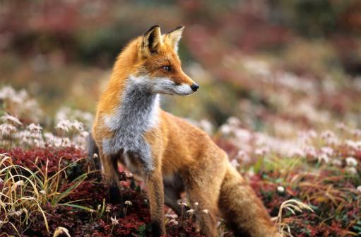 Fox「Fox in a autumn mountain」:スマホ壁紙(2)