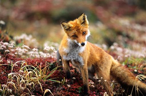 Fox「Fox in a autumn mountain」:スマホ壁紙(12)