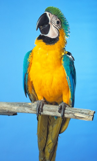 Choosing「Blue-and-gold Macaw」:スマホ壁紙(11)