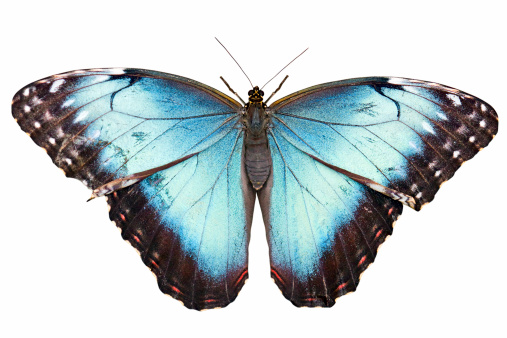 Morpho Butterfly「Isolated butterfly with clipping path on white background」:スマホ壁紙(18)