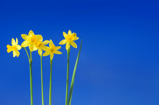 水仙「daffodils アゲインストスカイ」:スマホ壁紙(3)