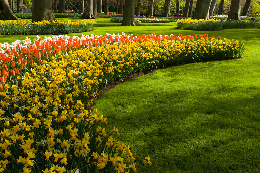 Keukenhof Gardens「Daffodils and Tulips among trees and lawn.」:スマホ壁紙(15)