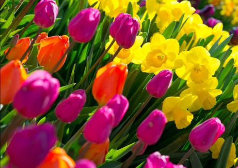 水仙「Daffodils 、チューリップ」:スマホ壁紙(18)