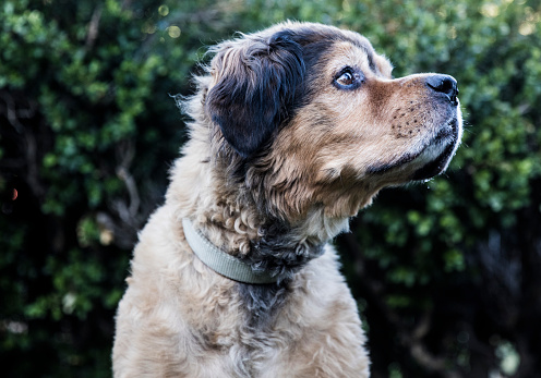 Amanda Foundation「Brown Bernese Mountain Dog - The Amanda Collection」:スマホ壁紙(14)