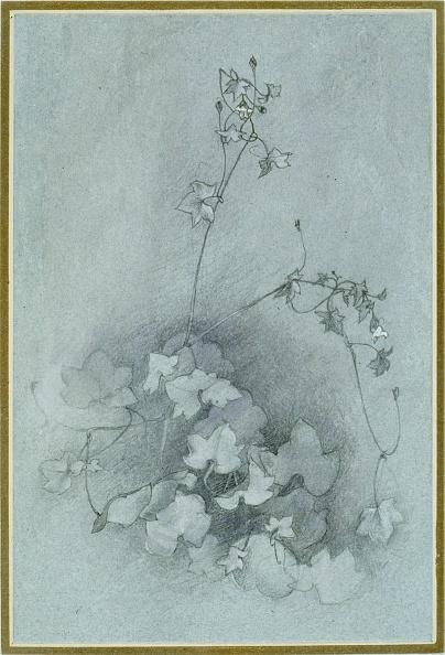 葉・植物「Ivy-Leaved Toadflax (Oxford Ivy),」:写真・画像(7)[壁紙.com]