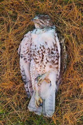 Run Over「Road-Killed juvenile Red-Tailed Hawk」:スマホ壁紙(17)