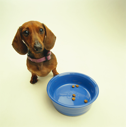 Pet Food「Dachshund sitting by empty food bowl, elevated view」:スマホ壁紙(8)