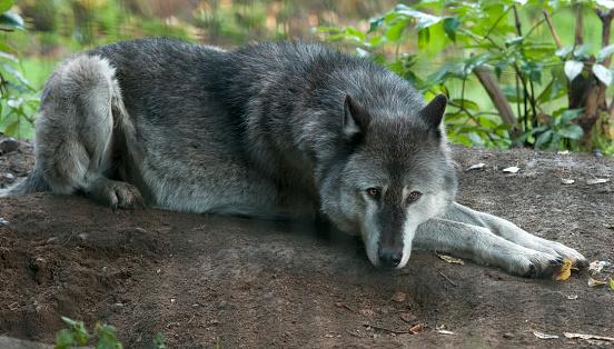 狼「Wolf laying down, in enclosed area.」:スマホ壁紙(10)