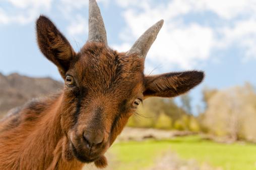 Animals In The Wild「Cute little goat」:スマホ壁紙(18)