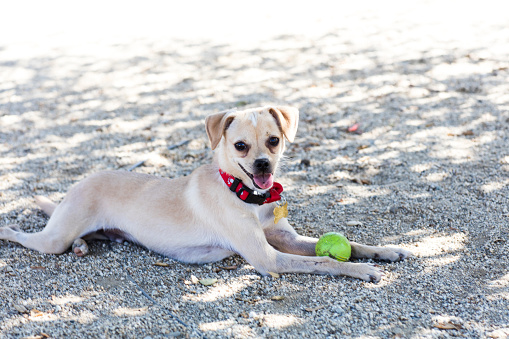 Charitable Foundation「Cute Little Chihuahua Mix with a Tennis Ball - The Amanda Collection」:スマホ壁紙(6)