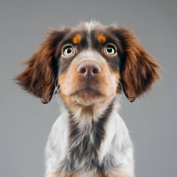 Cute little Epagneul Breton dog portrait:スマホ壁紙(壁紙.com)