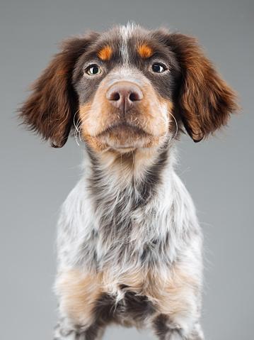 カメラ目線「かわいい小さなブレトン Epagneul 犬の肖像画」:スマホ壁紙(0)