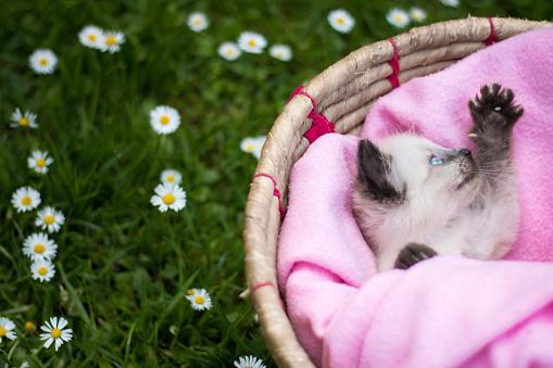 シャムネコ「バスケットのかわいい子猫」:スマホ壁紙(9)