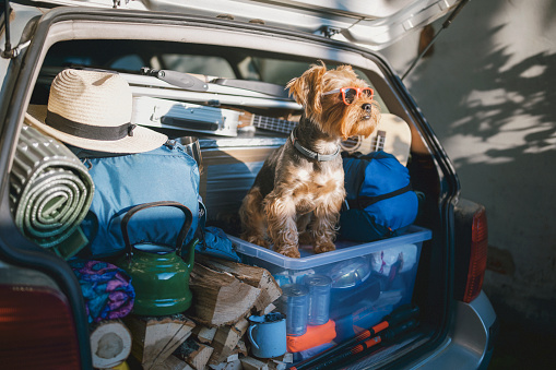 Smiling「Cute Little Terrier Dog Wearing Sunglasses In A Full Car Trunk Ready For A Vacation」:スマホ壁紙(9)