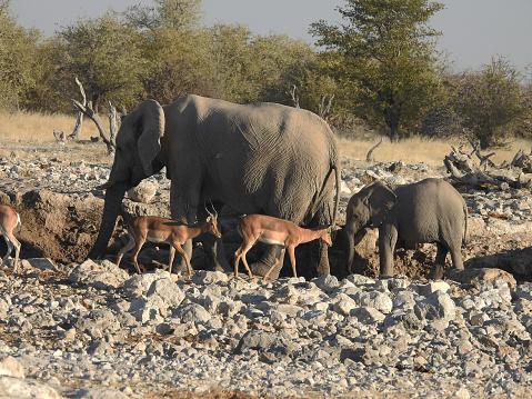 象「Elephant cow and calf with impalas at a waterhole」:スマホ壁紙(18)