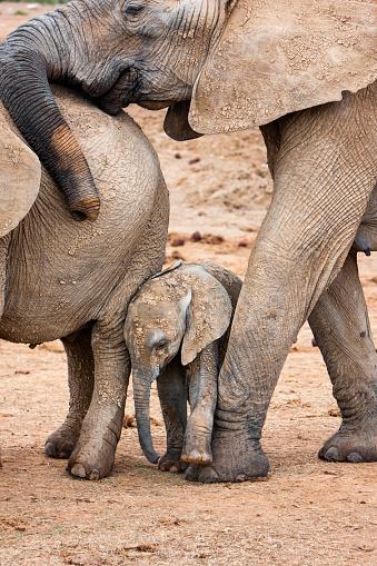 象「Elephant cow and calf」:スマホ壁紙(5)