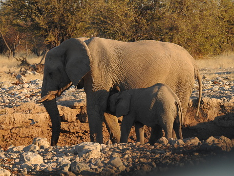 象「Elephant cow suckling calf」:スマホ壁紙(15)