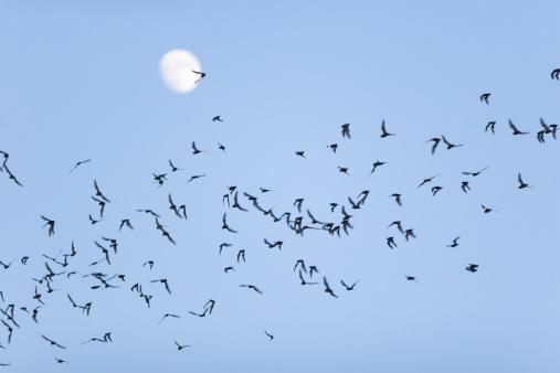Bat - Animal「Bat Swarm」:スマホ壁紙(13)