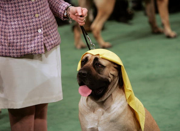 Focus On Foreground「129th Westminster Kennel Club Dog Show」:写真・画像(11)[壁紙.com]