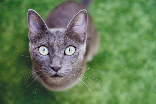 Purebred Cat「Russian blue looking up to camera」:スマホ壁紙(7)