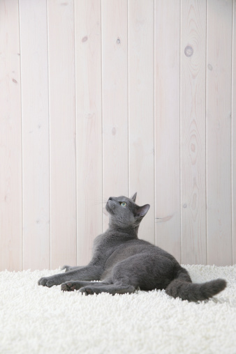 Purebred Cat「Russian blue cat looking upwards」:スマホ壁紙(8)