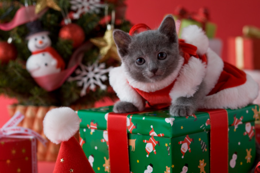 Kitten「Russian Blue Kitten and Christmas」:スマホ壁紙(1)