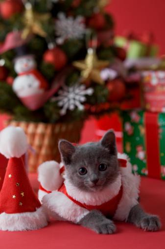 子猫「Russian Blue Kitten and Christmas」:スマホ壁紙(1)
