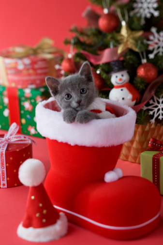 Headshot「Russian Blue Kitten and Christmas」:スマホ壁紙(14)