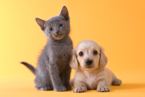 子猫「Russian Blue Kitten and Dachshund Puppy」:スマホ壁紙(0)