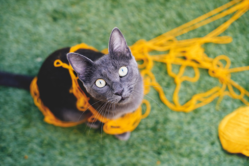 Staring「Russian blue tangled in yellow wool looking up to camera」:スマホ壁紙(17)