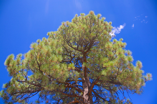 Summer「Ponderosa Pine in Red Canyon, Dixie National Forest, Utah」:スマホ壁紙(18)