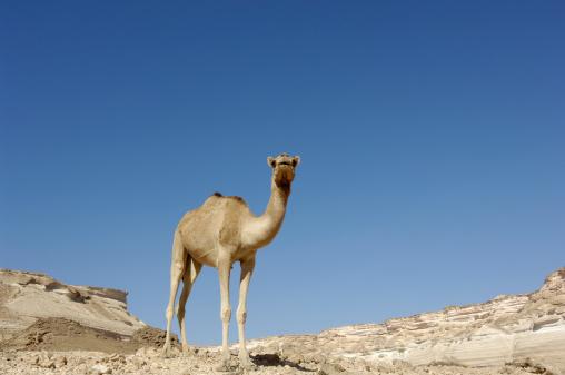 全身「Camel in Shuwaymiyah Wadi , Dhofar Region , Oman」:スマホ壁紙(19)