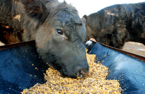 Feeding「Meat Prices To Rise As Corn Supply Diverted For Ethanol Production」:写真・画像(11)[壁紙.com]
